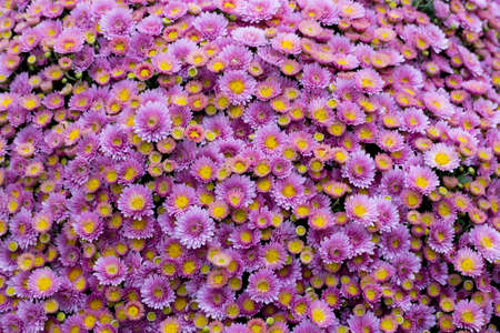 Lilac purple flowers, bouquet, large bush of chrysanthemums of daisies. Purple chrysanthemum outdoor. Autumn bloom of aster chrysanthemum garden flowers 写真素材