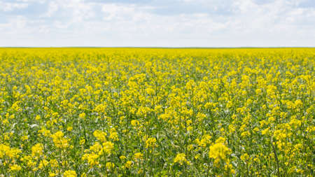 Blooming canola field, background wallpaper banner landscape panorama. Oilseed agrarian culture of spring rape. Brassica napus blooms in yellow flowers