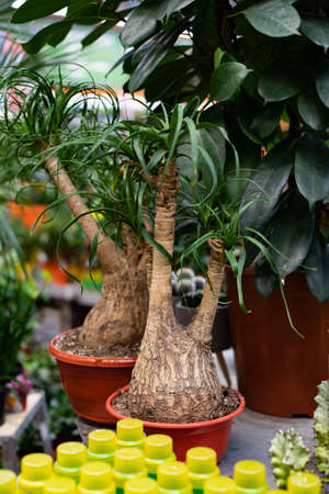 Nolina Beaucarnea, Elephant Palm ornamental potted plant in a flower shop, vertical photo.