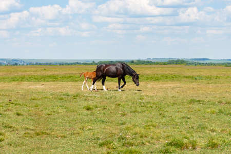 A beautiful bay horse with white toes grazing with a red foal. Rural animal in a green meadow, a small foal walks next to its mother