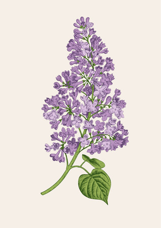 Purple lilac branch on a light gray background. Vector botanical illustration.
