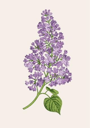 Purple lilac branch on a light gray background. Vector botanical illustration.