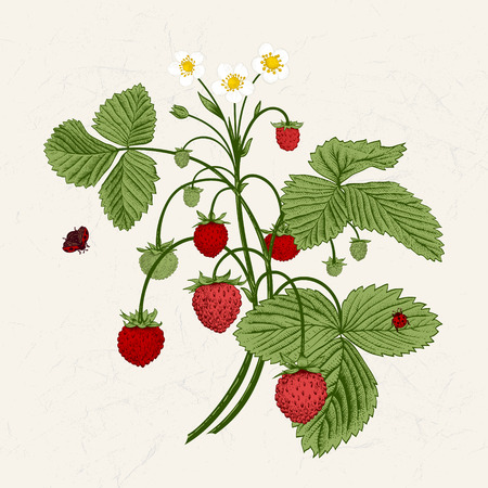 Bush of wild strawberries. Vintage vector illustration.