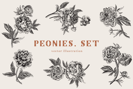 postcard vintage: Vintage vector illustration. Peonies. Set.