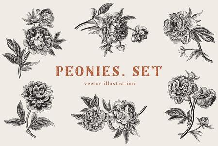romantique: Vintage vector illustration. Pivoines. Set.
