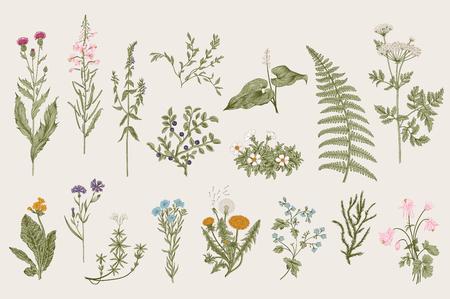 Hierbas y flores silvestres. Botánica. Conjunto. Flores de la vendimia. Ilustración colorida en el estilo de los grabados.