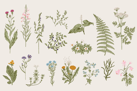 ilustración: Hierbas y flores silvestres. Botánica. Conjunto. Flores de la vendimia. Ilustración colorida en el estilo de los grabados. Vectores