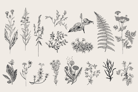 Hierbas y flores silvestres. Botánica. Conjunto. Flores de la vendimia. Ejemplo blanco y negro al estilo de los grabados. Ilustración de vector