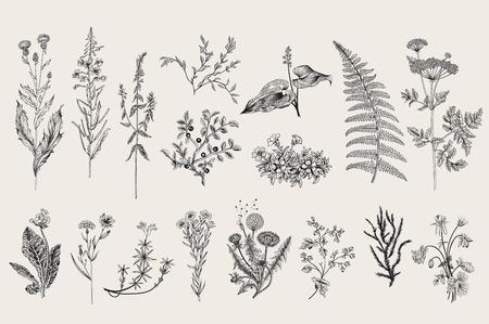 ilustracion: Hierbas y flores silvestres. Botánica. Conjunto. Flores de la vendimia. Ejemplo blanco y negro al estilo de los grabados.