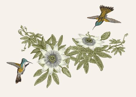 トケイソウとコリブリ。ヴィンテージ植物イラスト。