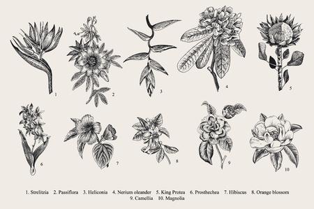 hibisco: establecen las flores exóticas. Ejemplo botánico de la vendimia. Vectores