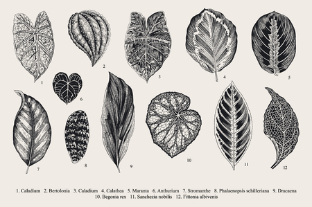 exotics: Set Leaf. Exotics. Vintage vector botanical illustration. Black and white.