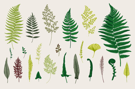 Set Ferns. Vintage vector botanical illustration. Colorful Ilustracja