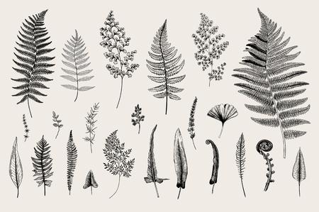 Set Ferns. Vintage vector botanical illustration. Black and white