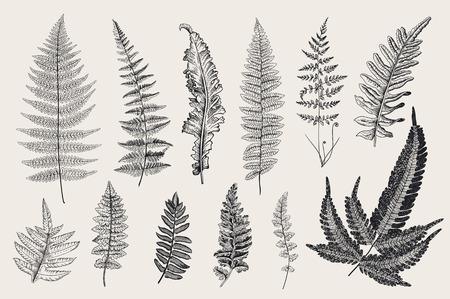 Varens instellen. 12 Bladeren. Vintage vector botanische illustratie. Zwart en wit