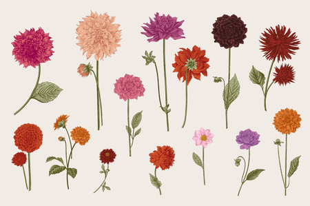 ダリアを設定します。植物のベクトル ビンテージ イラスト。デザイン要素です。カラフルです。