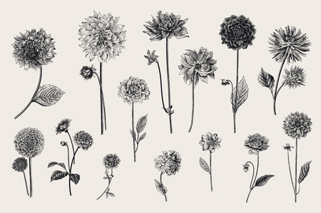 Dahlias set. Botanical vector vintage illustration. Design elements. Black and white Ilustração