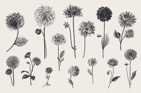 Dalie set. Illustrazione dell'annata di vettore botanico. Elementi di design Bianco e nero Archivio Fotografico - 83921894