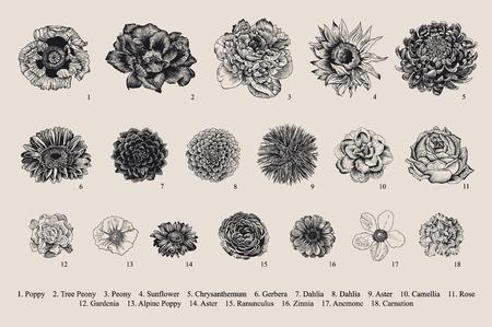 달리아 세트. 식물 벡터 빈티지 그림입니다. 디자인 요소입니다. 검정색과 흰색