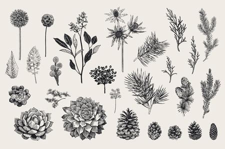 Illustrazione vettoriale botanico vettoriale. Archivio Fotografico - 88925201