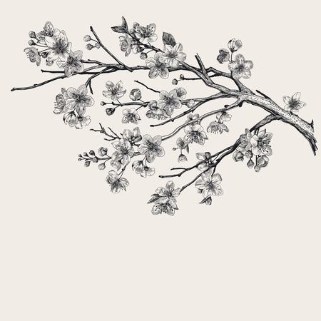 Sakura. Cherry blossom branch. Vector botanical illustration. Black and white