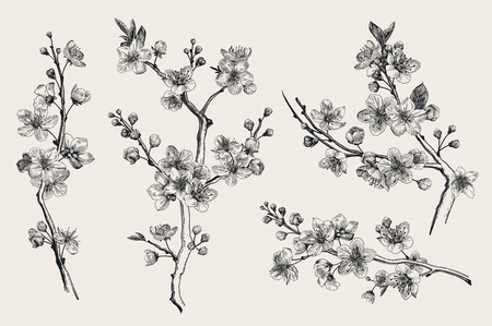 Sakura. Cherry blossom branch. Vector botanical illustration. Black and white. Set