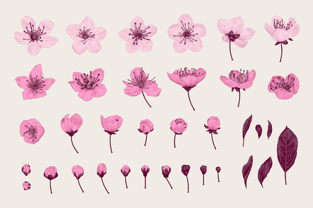 Set. Pink Cherry Flowers, Leaves and buds. Vector botanical illustration