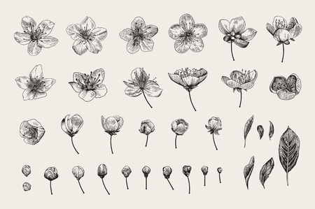 Set. Cherry Flowers, Leaves and buds. Vector botanical illustration. Black and white