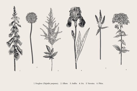 Set garden flowers. Classical botanical illustration. Foxglove, Allium, Astilbe, Iris, Veronica, Phlox. Black and white Ilustração