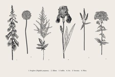 Ustaw kwiaty ogrodowe. Klasyczna ilustracja botaniczna. Naparstnica, Allium, Astilbe, Iris, Veronica, Floks. Czarny i biały