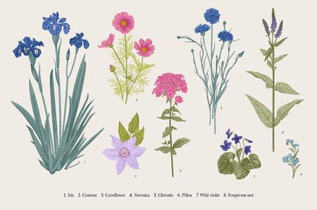 Ustaw kwiaty ogrodowe. Klasyczna ilustracja botaniczna. Kwiaty niebieskie, fioletowe, różowe, fioletowe