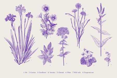 Stellen Sie Gartenblumen ein. Klassische botanische Illustration der Weinlese. Ultraviolett
