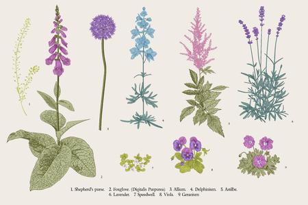 Stellen Sie Gartenblumen ein. Klassische botanische Illustration. Blaue, violette, rosa, lila Blüten Vektorgrafik