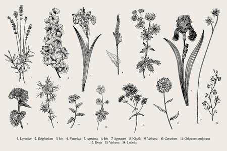 Heure d'été. Fleurs du jardin. Illustration botanique vintage de vecteur. Noir et blanc
