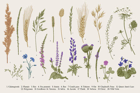 Summertime. Plants of fields and forests. Flowers, cereals. Vector vintage botanical illustration. 일러스트