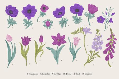 Frühlingsblumen. Einstellen. Anemonen und Tulpen. Botanische Illustration des Weinlesevektors.