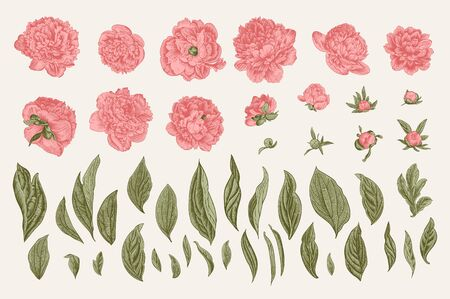 Vintage vector botanical illustration. A set of independent elements. Flowers, buds and leaves of peonies.