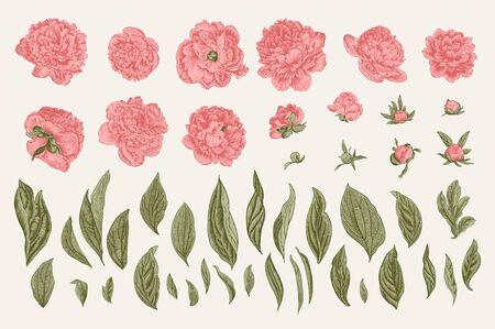 Vintage vector botanical illustration. A set of independent elements. Flowers, buds and leaves of peonies. 版權商用圖片 - 127986657