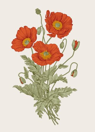 Vintage illustration. Bouquet. Red Poppies.
