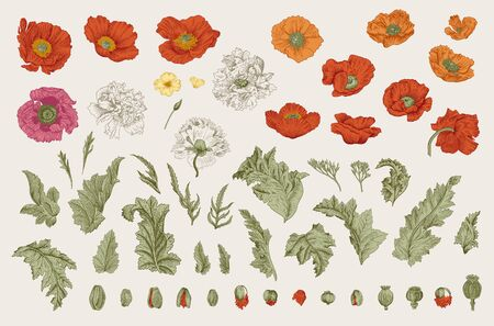 Vintage vector botanical illustration. Set. Poppies of various varieties. Flowers, leaves, buds Ilustração