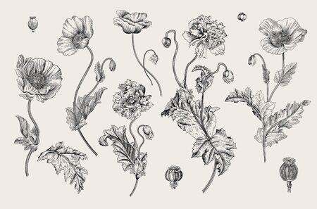 Vintage vector botanical illustration. Set. Poppies. Black and white