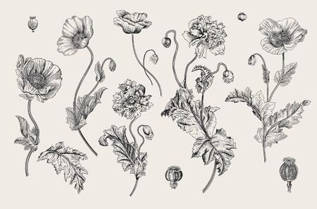 Vintage vector botanical illustration. Set. Poppies. Black and white