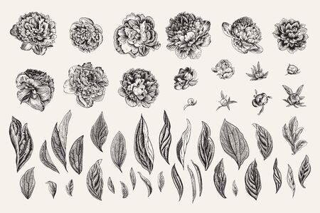 Vintage vector botanical illustration. A set of independent elements. Flowers, buds and leaves of peonies. Black and white