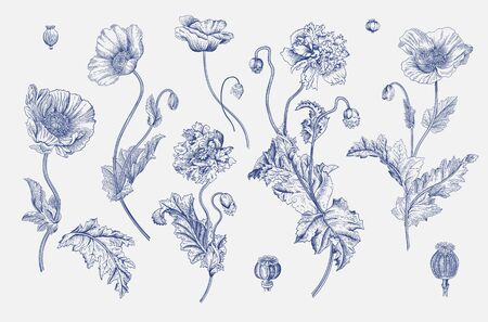 Vintage vector botanical illustration. Set. Poppies. Blue and white