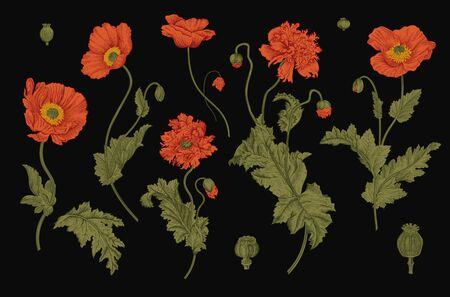 Vintage vector botanical illustration. Set. Red Poppies.