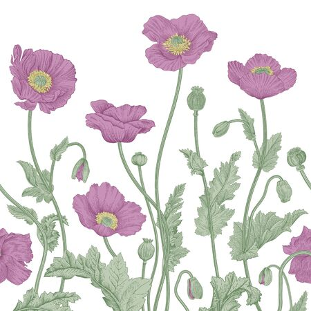 Vintage floral illustration. Vector border. Purple Poppies.
