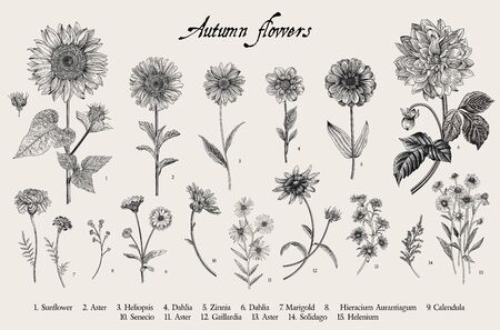 Illustration botanique de vecteur vintage. Régler. Fleurs d'automne. Noir et blanc Vecteurs