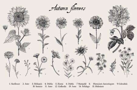 Illustrazione botanica di vettore dell'annata. Impostato. Fiori d'autunno. Bianco e nero Vettoriali