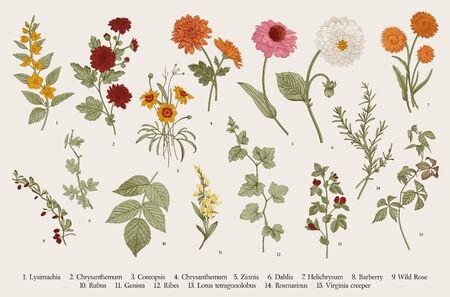 Ilustración botánica de vector vintage. Colocar. Flores de otoño y ramitas. Vistoso