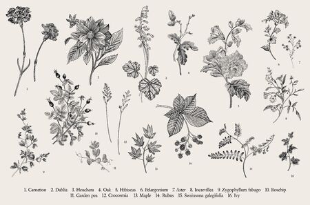 Botanische Illustration des Weinlesevektors. Satz. Herbstblumen. Schwarz und weiß